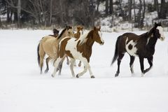 Horse Roundup. Scene from a horse round up in rural Montana Stock Images