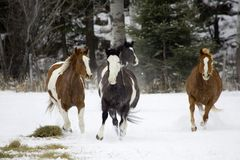 Horse Roundup royalty free stock image