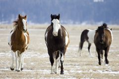 Horse Roundup royalty free stock photography