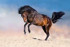 Horse run in desert. Bay stallion with long mane run on desert dust Royalty Free Stock Photography