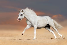 Horse run in desert Royalty Free Stock Photography