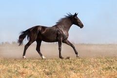 Horse run in dust Stock Photography