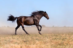 Horse run in dust Royalty Free Stock Image