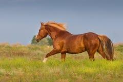 Horse run fast Stock Photography