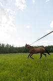Horse run in field Stock Image