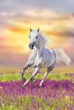 Horse run in flowers Stock Images