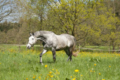 Horse run free on meadow, beautiful apple mildew Stock Photography