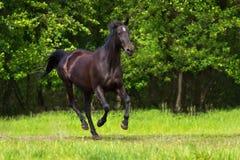 Horse run gallop Stock Image