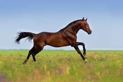 Horse run gallop fast. Bay stallion run gallop on gree grass with flowers at summer day stock photos