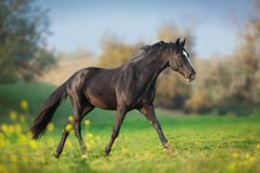 Horse run gallop. In green meadow stock photo