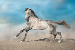 Horse run gallop. Grey horse run gallop in desert sand stock photography