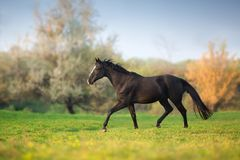 Horse run gallop. In green meadow royalty free stock image