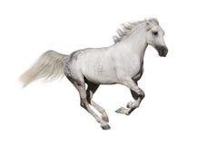 Horse run gallop Stock Photography