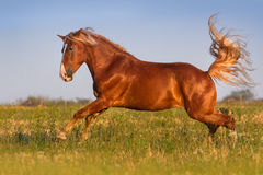 Horse run gallop. Red horse with long mane run gallop on pasture royalty free stock photography