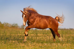 Horse run gallop. Red horse with long mane run gallop on pasture stock images