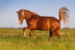 Horse run gallop. Red horse with long mane run gallop on pasture stock photography