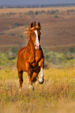 Horse run gallop. Red horse run gallop in the meadow Royalty Free Stock Photo