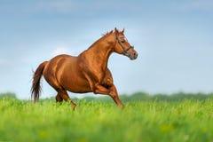 Horse run gallop Royalty Free Stock Photography