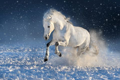 Horse run gallop in snow. White horse run gallop in winter snow field royalty free stock photos