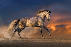 Horse run gallop at sunset. White horse run gallop in sandy field against dramatic sky royalty free stock photography