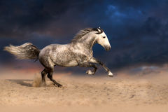 Horse run gallop at sunset royalty free stock images