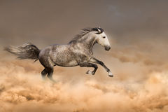 Horse run gallop Royalty Free Stock Images