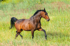 Horse run in grass Royalty Free Stock Photography
