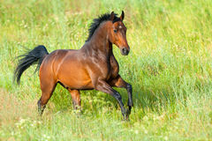 Horse run in grass Stock Image