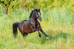 Horse run in grass Stock Images
