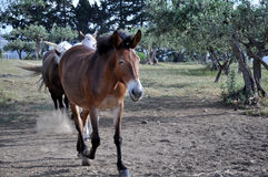 Horse run Stock Images