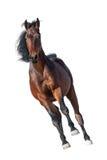 Horse run isolated. Beautiful bay stallion run gallop isolated on white background Stock Photo