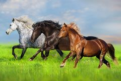 Horse run on pasture. Horse herd run fast in green field with blue sky stock photo