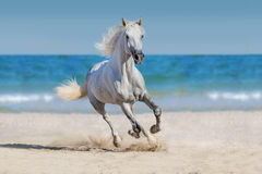 Horse run in seashore. White andalusian horse run gallop against the ocean Royalty Free Stock Photo