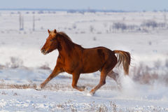 Horse run in snow Royalty Free Stock Image