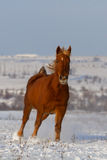 Horse run in snow field Stock Image
