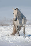 Horse run in snow stock photo
