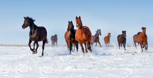 Horse run in snow Royalty Free Stock Photos