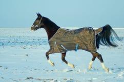 Horse run through the snowy field Royalty Free Stock Photos