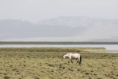 A horse run from Song Kul lake in Kyrgyzstan towards Steppe. A horse run from Song Kul lake in Kyrgyzstan towards green Steppe Royalty Free Stock Image