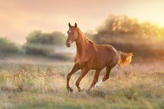 Horse run at sunset. Light with fog in meadow stock photos