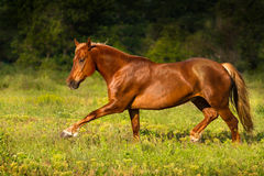 Horse run trot Stock Photos