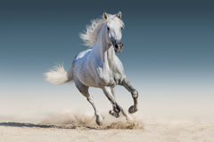 Horse run. White andalusian horse run gallop stock image