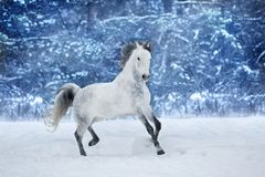 Horse run in winter. White stallion run in snow field royalty free stock images