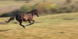 Horse running. Panning image of a horse running in a fall field.The horse's breed is Romanian Light heavy-weight Stock Image