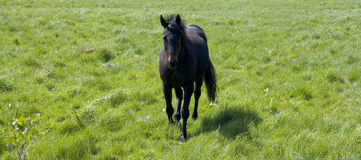 Horse running. A black horse running towards the camera. Plenty of space for copy on either side Stock Photography