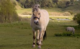 Horse running. On meadow stock images