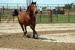 Horse Running. Bay thoroughbred,OTTB, galloping freely outdoors Stock Photography