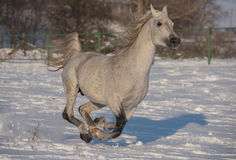 Horse. Running away of willpower in the snow Royalty Free Stock Photography