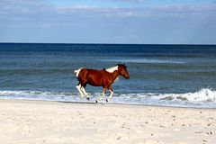 Horse Running on the Beach. Beautiful horse running down the beach of the Atlantic Ocean with all four legs suspended Royalty Free Stock Photos