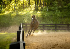 Horse running at camera Royalty Free Stock Image